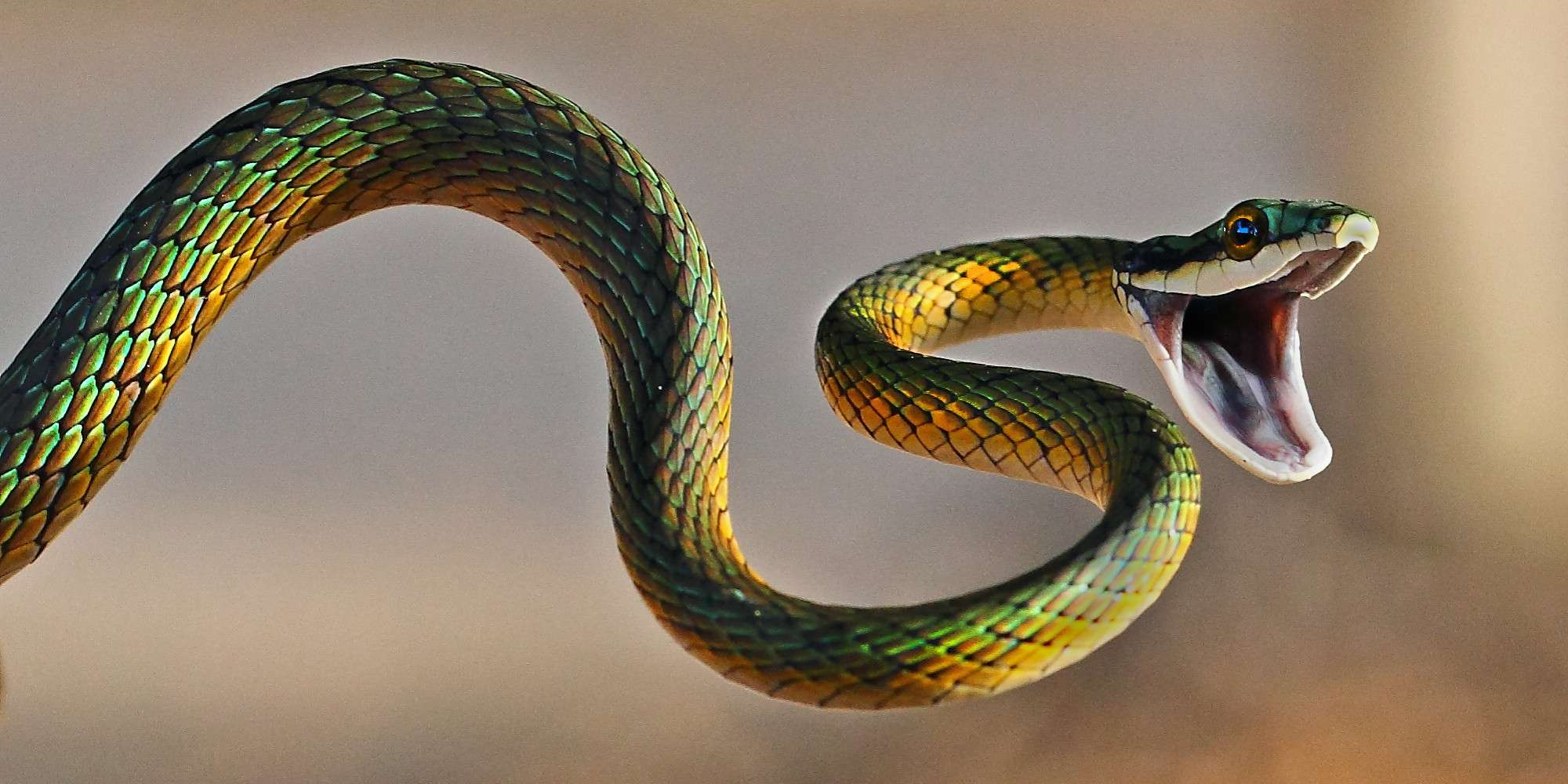 Brightly coloured parrot snake [Image Source]