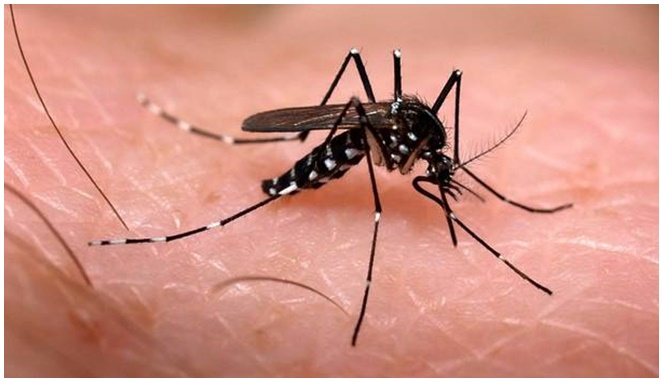 Aedes Aegypti [Image Source]