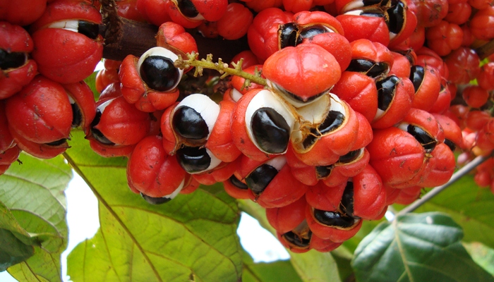 Guarana [image source]