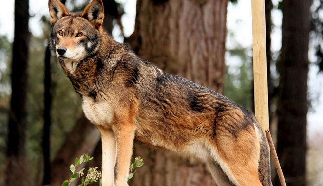 Red Wolf [Image Source]