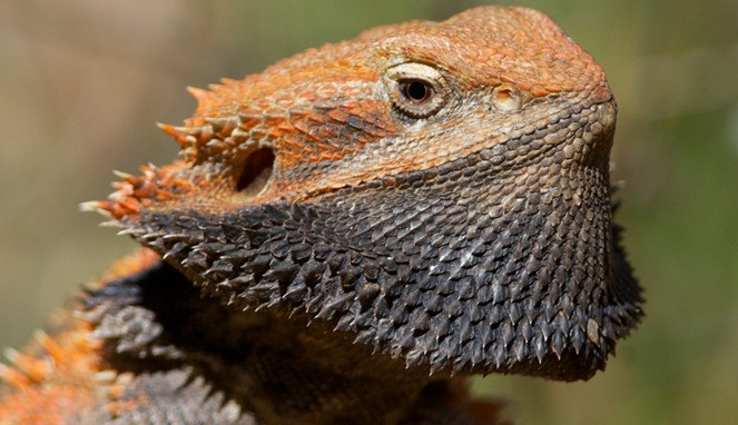 Central bearded dragon [image source]